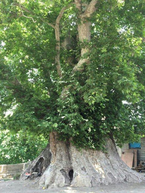 ثبت ملی درخت 700 ساله در بخش کجور